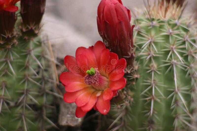 Download Cactus Flower stock image. Image of ground, arizona, spines - 56495