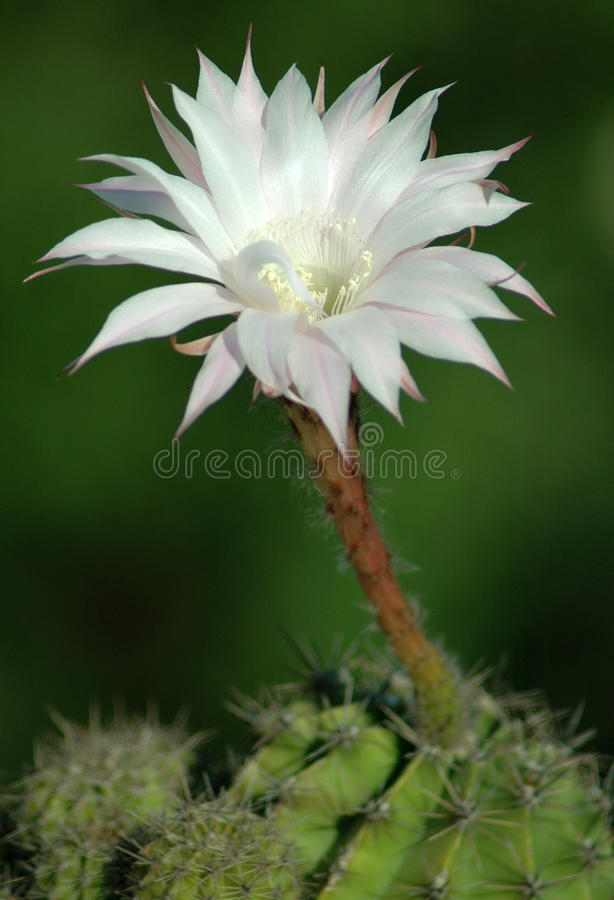 Cactus flower stock photo. Image of field, flowers, attention - 94548334