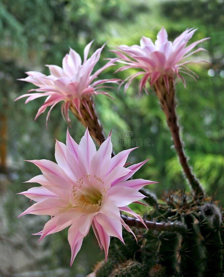 Cactus flower stock photo. Image of decoration, colorful - 94548512