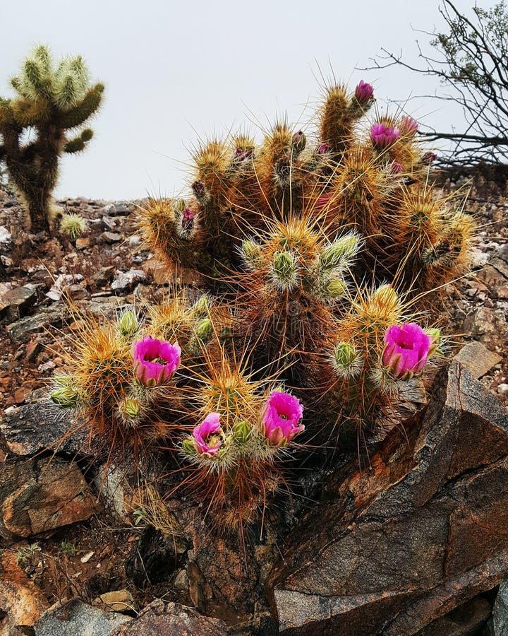 Cactus flower. Arizona desert scene royalty free stock images