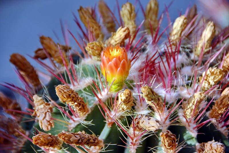 Cactus flower blooming royalty free stock image