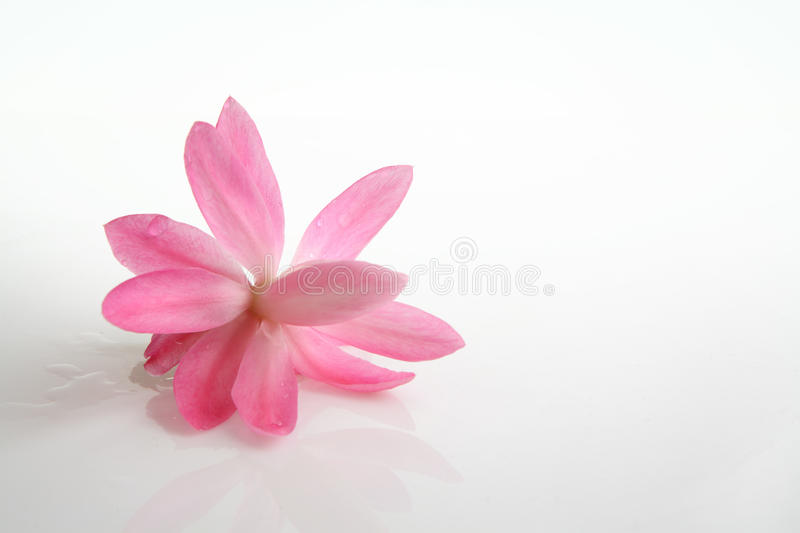 Download Cactus Flower Blossom On White Stock Image - Image: 24716641