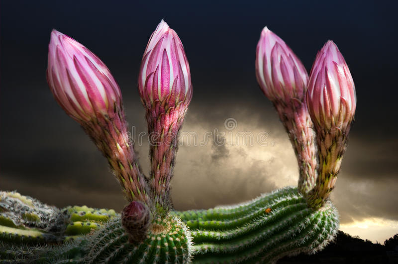 Cactus flower buds. Oped a few hours later stock images