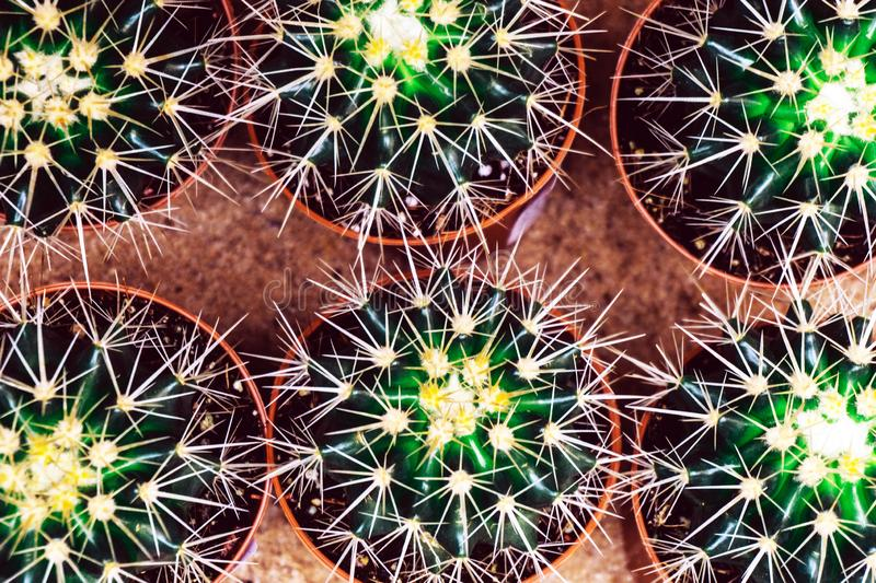 Cactus flower close up background. Nature desert concept. Close up macro royalty free stock images