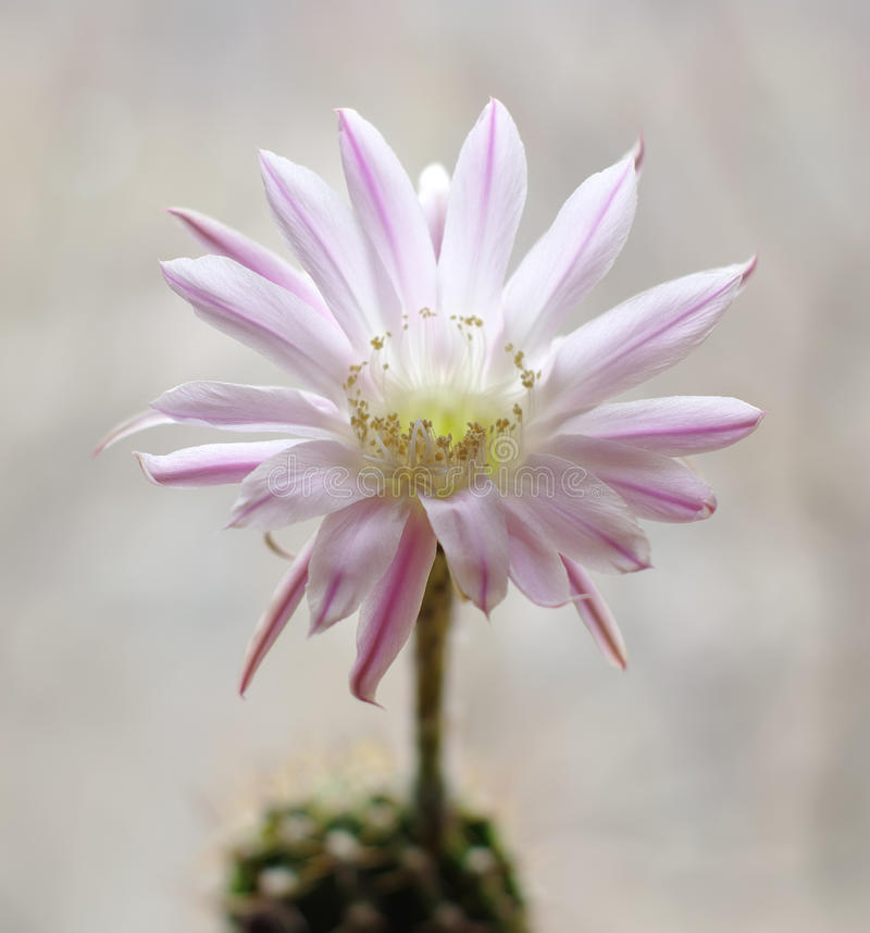 Download Cactus flower echinopsis stock photo. Image of thorn - 14552638