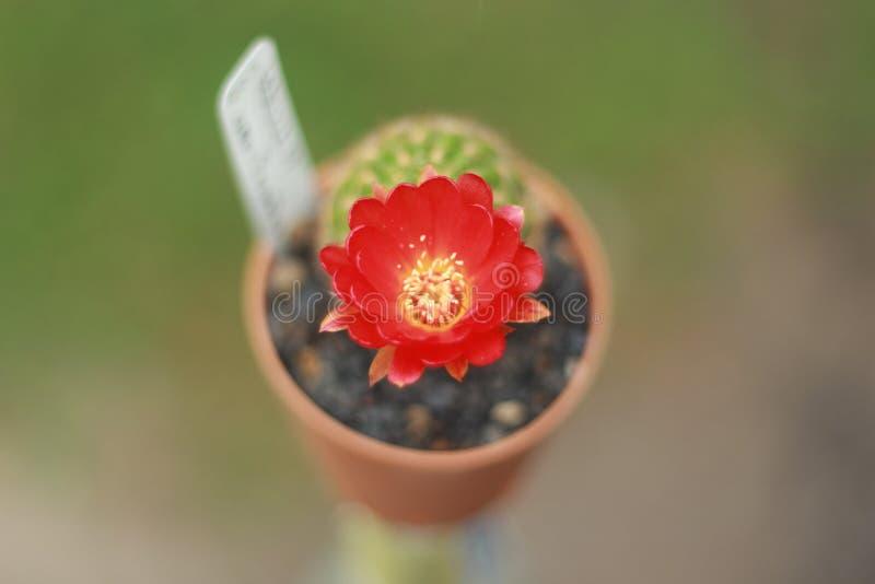 cactus flower 005 stock photo