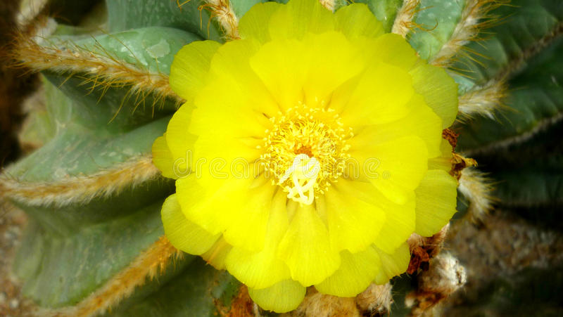 Cactus flowering. Yellow flower. Thai flowers. Thai cactus. On a green background. A great combination of elegance and natural sim royalty free stock photo