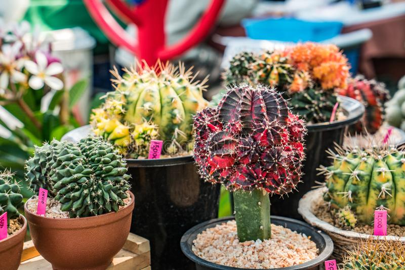 Cactus in flowerpot royalty free stock image