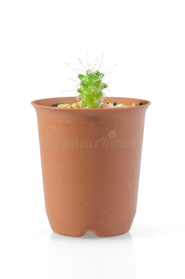 Cactus. In flowerpot on isolated background royalty free stock image