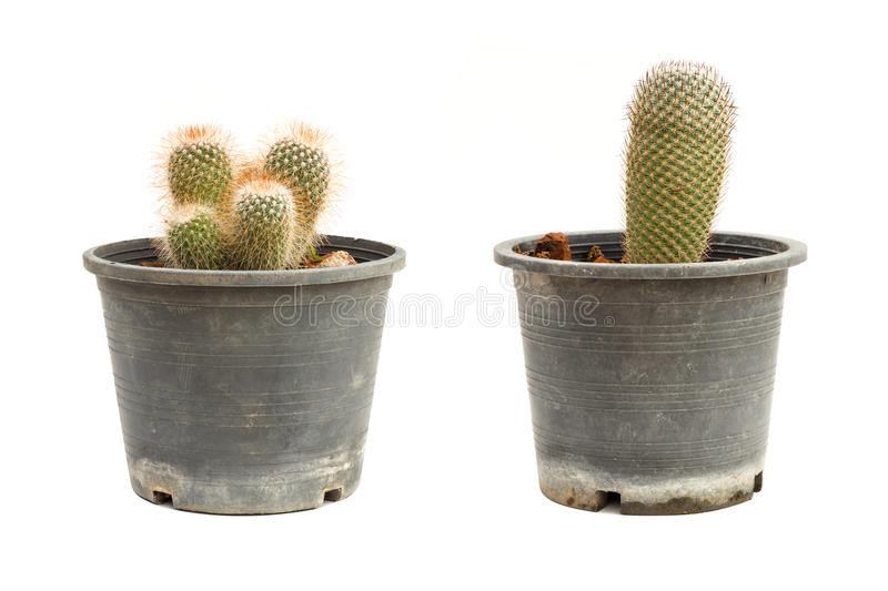 Cactus in flowerpot isolated on white background. Two cactus in flowerpot isolated on white background royalty free stock photos