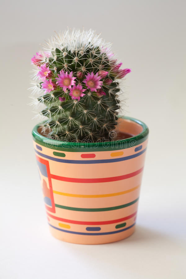 Download Cactus with flowers stock image. Image of horizontal - 23875619