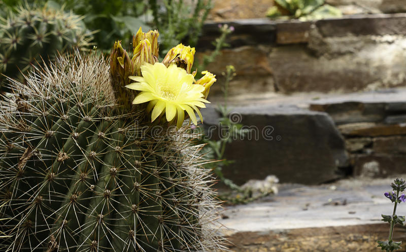 Cactus With flowers royalty free stock photo