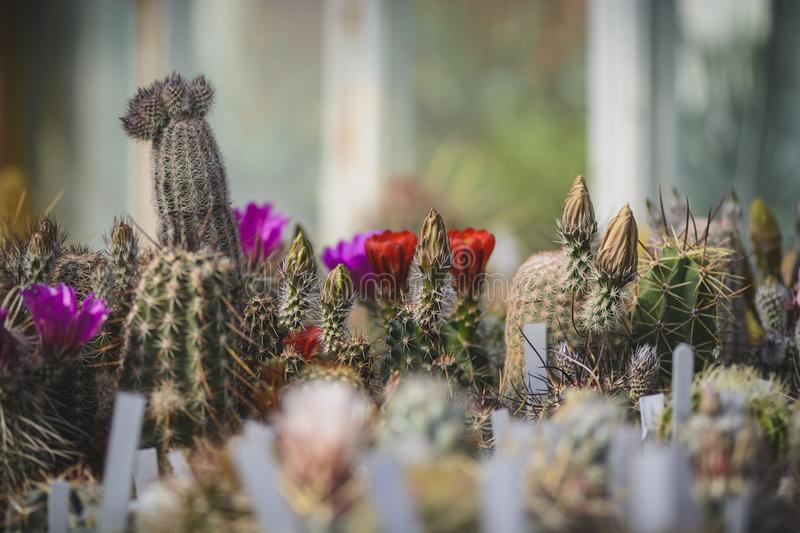 Cactus on flowers and with buds, background with cactus. stock images