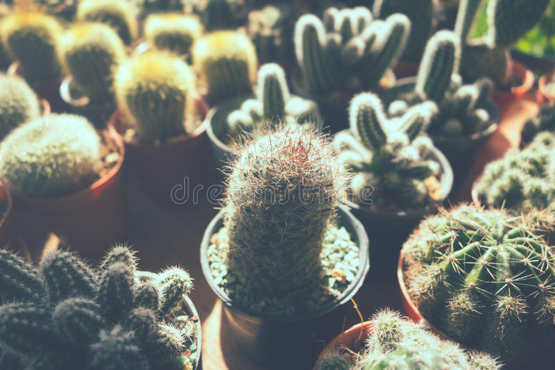 Cactus Flowers in pots , colorful flowers pots, flowers shop , r stock photography