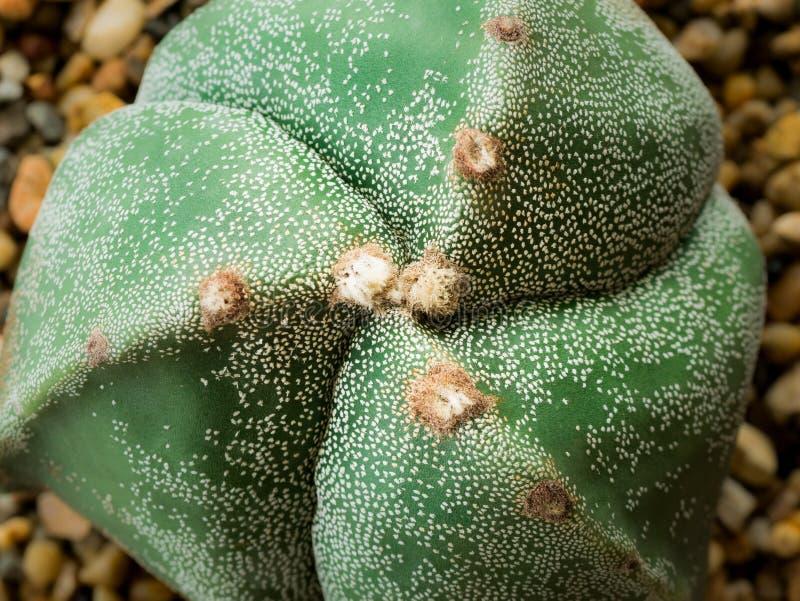 Cactus formé comme une spirale images stock
