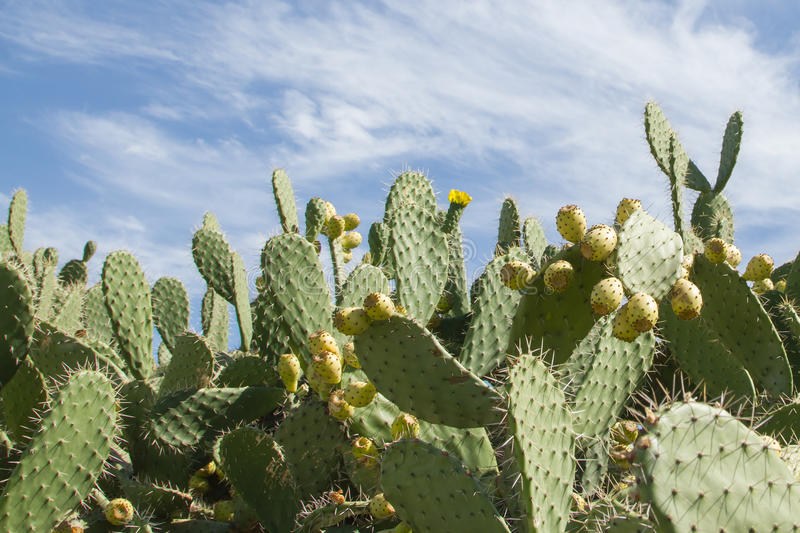 Cactus fruits. In andalusie spain royalty free stock photo