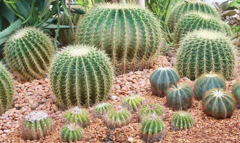 Cactus garden. Round cactus on sand garden royalty free stock photo