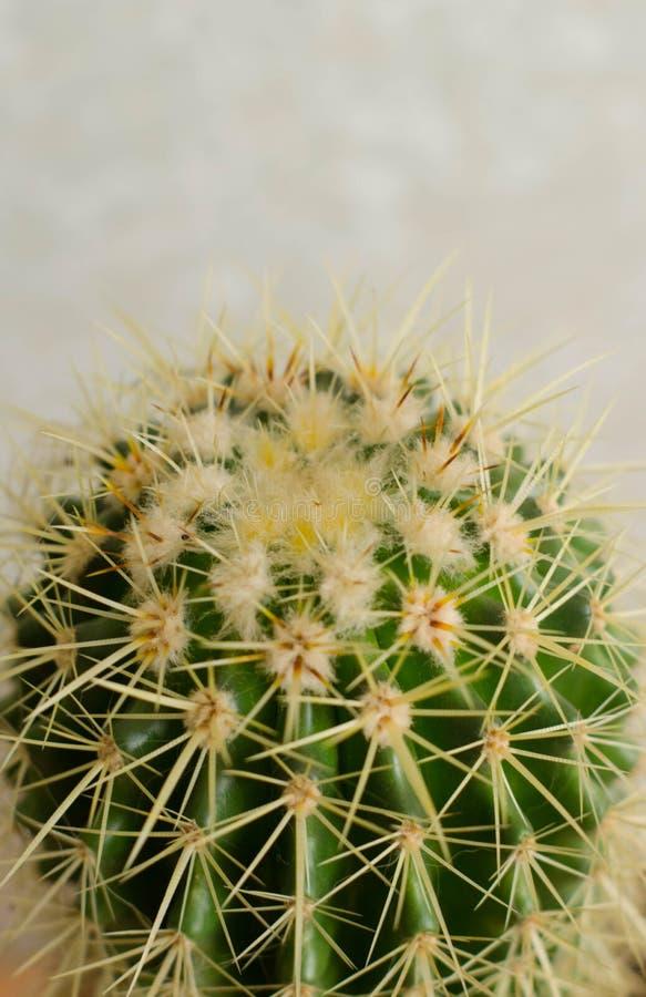 Opuntia Cactus Hard Green Background Stock Photo