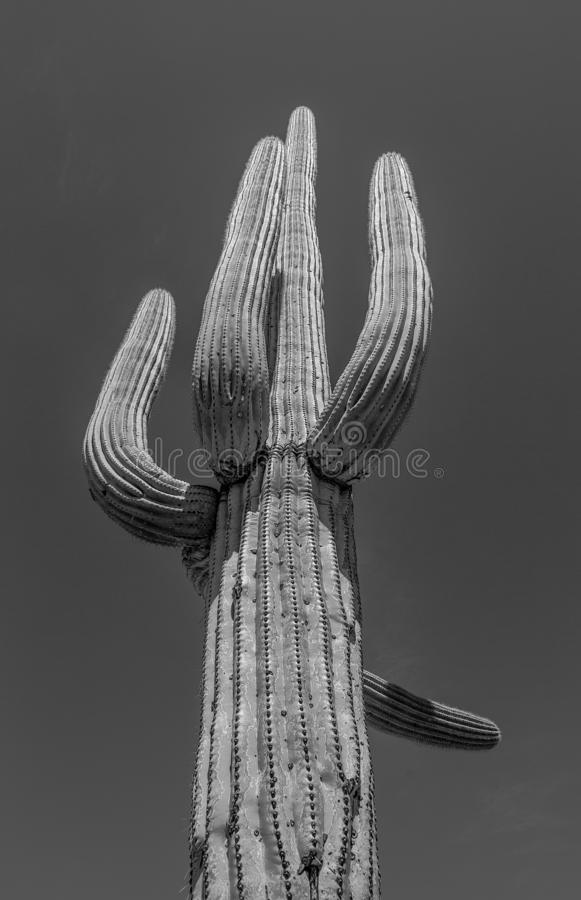Cactus gigante alto blanco y negro del parque nacional de Saguaro de Arizona imagenes de archivo