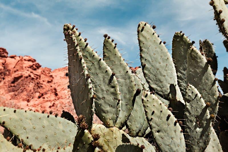 Cactus gigante del higo chumbo en el valle del parque de estado del fuego en Nevada foto de archivo