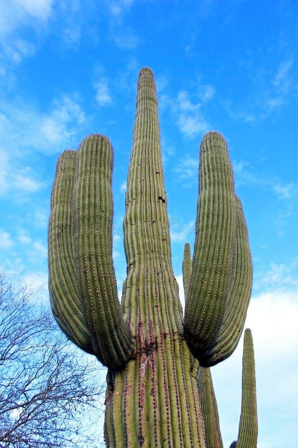 Cactus gigante del saguaro immagini stock libere da diritti