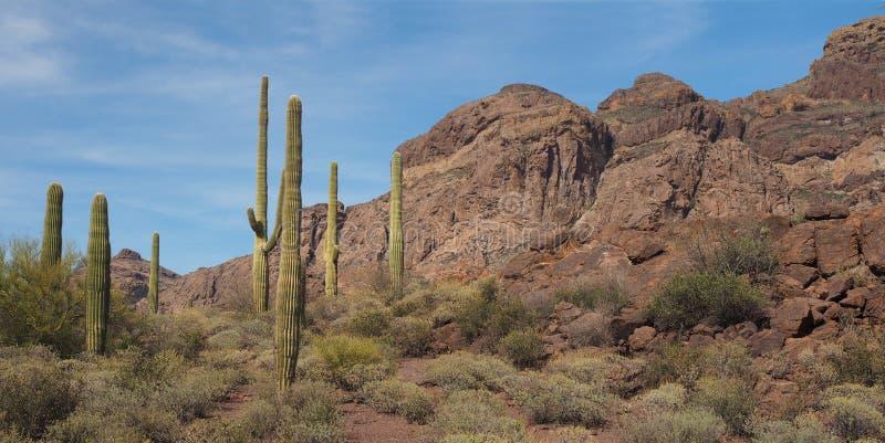 Cactus gigante del Saguaro en parque nacional del tubo de órgano imágenes de archivo libres de regalías