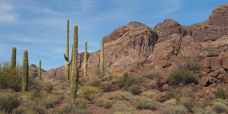 Cactus gigante del saguaro nel parco nazionale della canna d'organo immagini stock libere da diritti