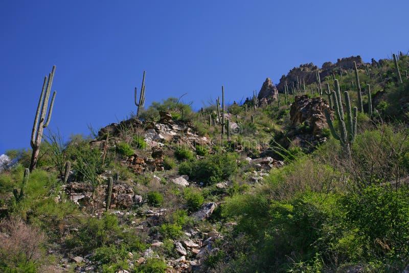 Cactus gigante del saguaro, parco nazionale del saguaro fotografie stock libere da diritti