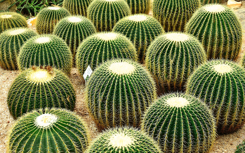 Download Cacti stock photo. Image of ball, plant, flora, echinocactus - 41571860