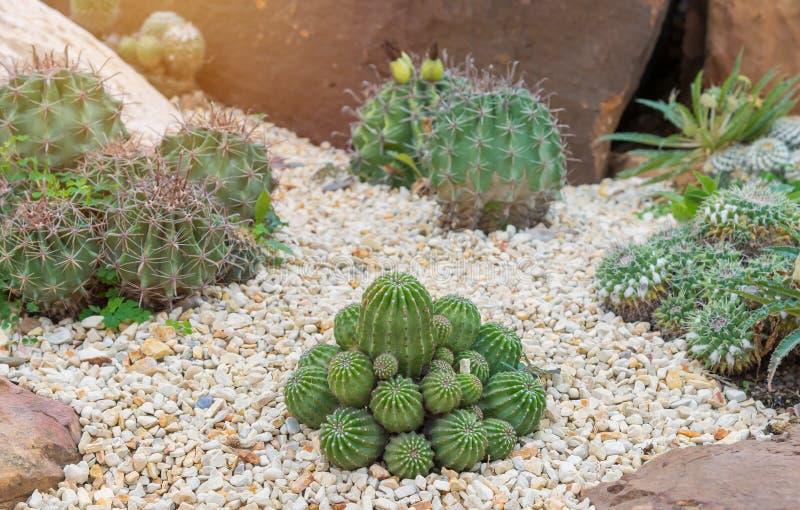 Cactus grande hermoso en el jard n de piedras foto de archivo imagen de cacto crecimiento - Jardines con cactus y piedras ...