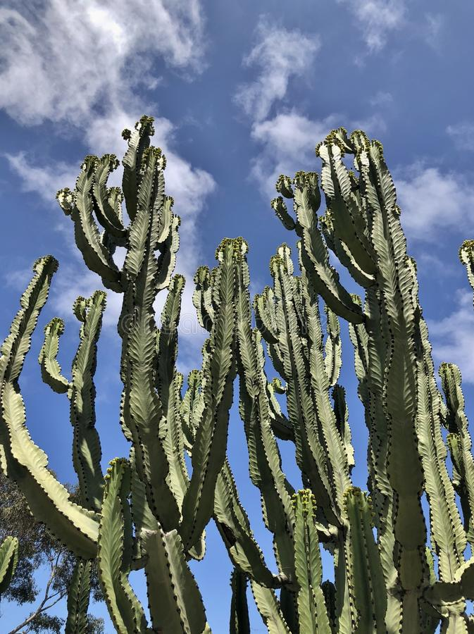 Cactus grands verts multiples photographie stock