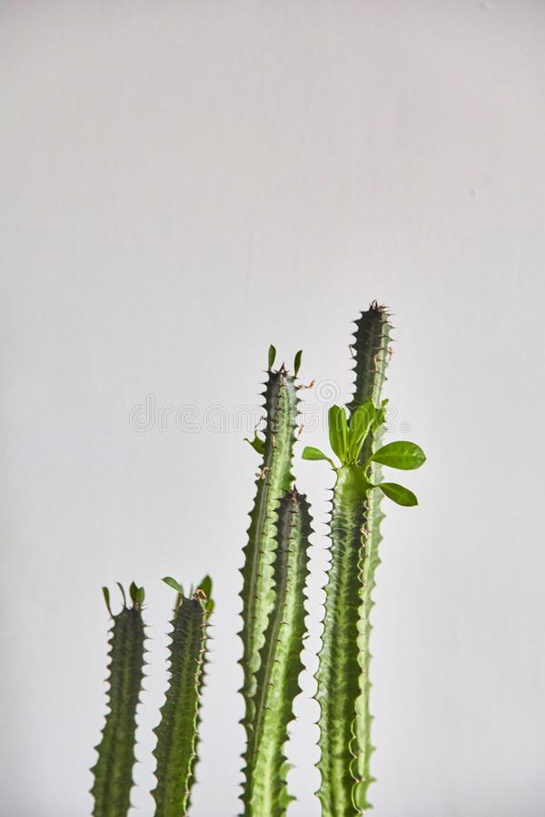 Cactus on a gray background royalty free stock image