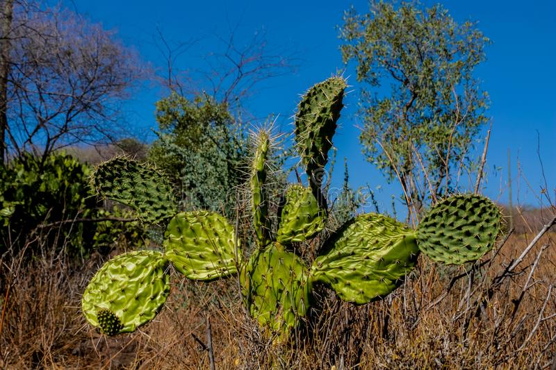 Cactus green big bush in the wild. Standing in the field on a sunny day royalty free stock images