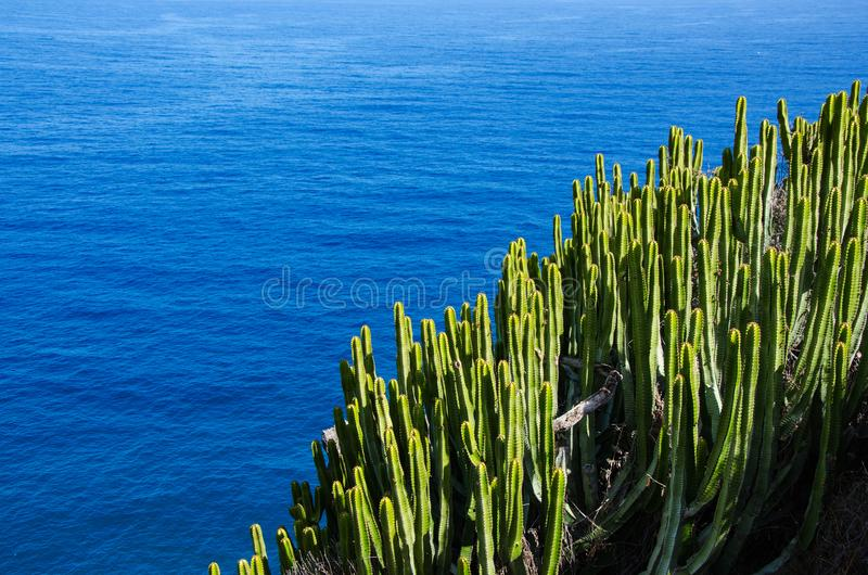 Cactus green nature plant spurge Euphorbia canariensis and ocean, Tenerife, Canary Islands stock photo