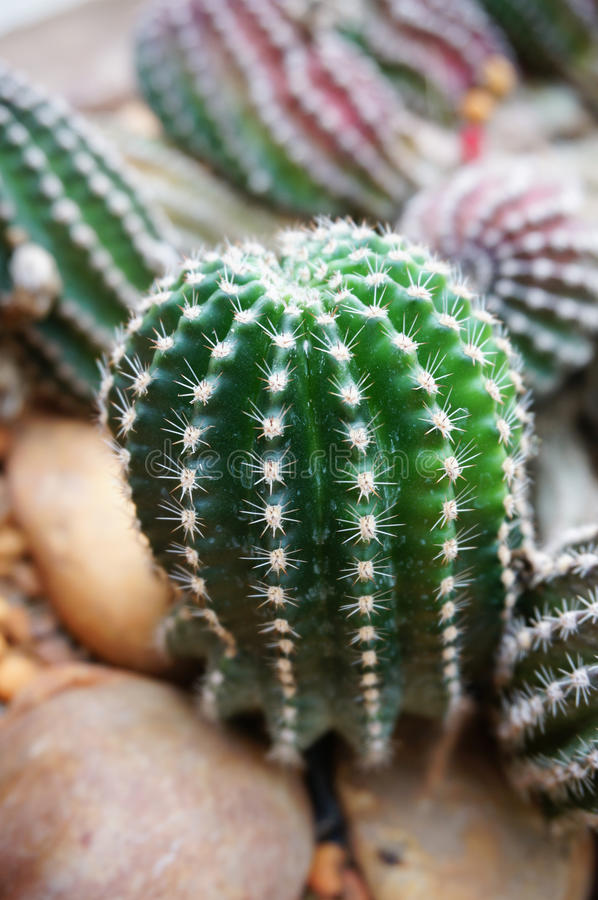 Cactus. Green cactus plant on desert royalty free stock images