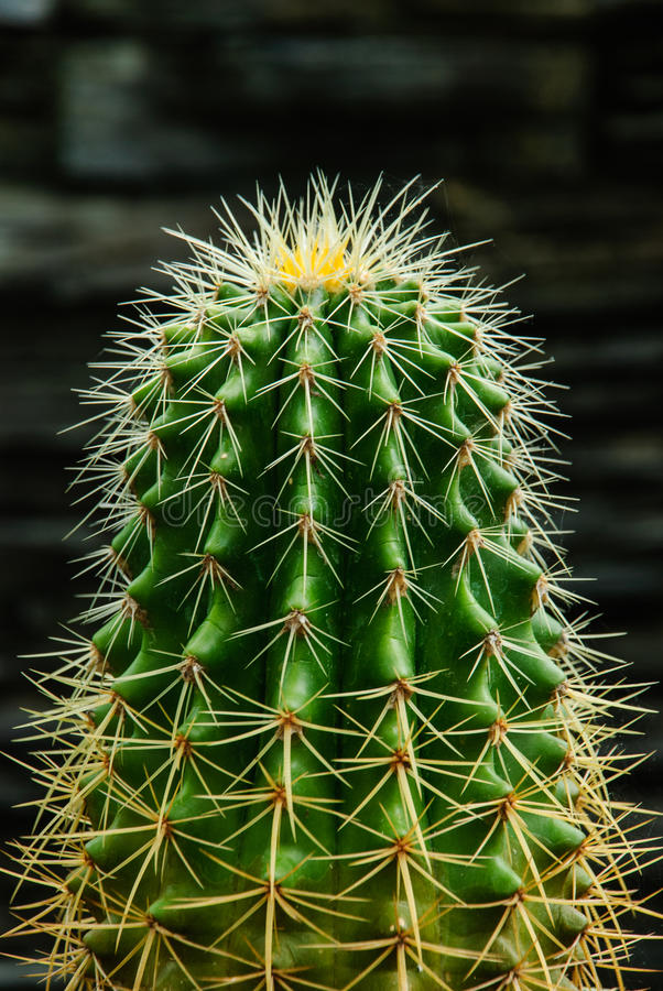 Download The cactus stock image. Image of care, sharp, spike, floral - 33552233