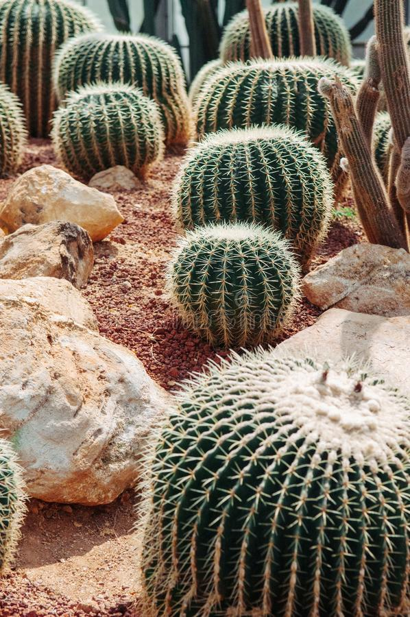 Cactus greenhouse with rocky ground and stones. Golden Barrel Ca royalty free stock photo