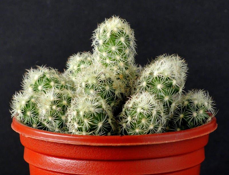 Cactus, groen, met verscheidene netelige compensatie stock fotografie