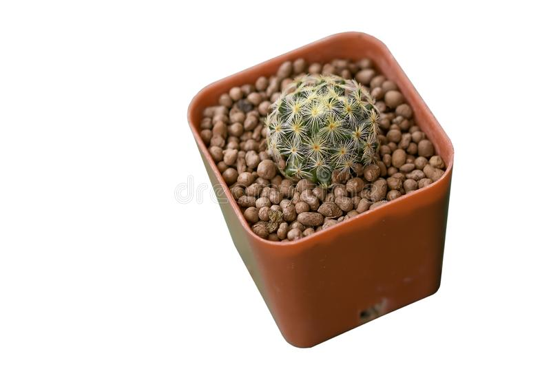 Cactus Grown as ornamental plants Beautiful oon a white background. Thailand stock photo
