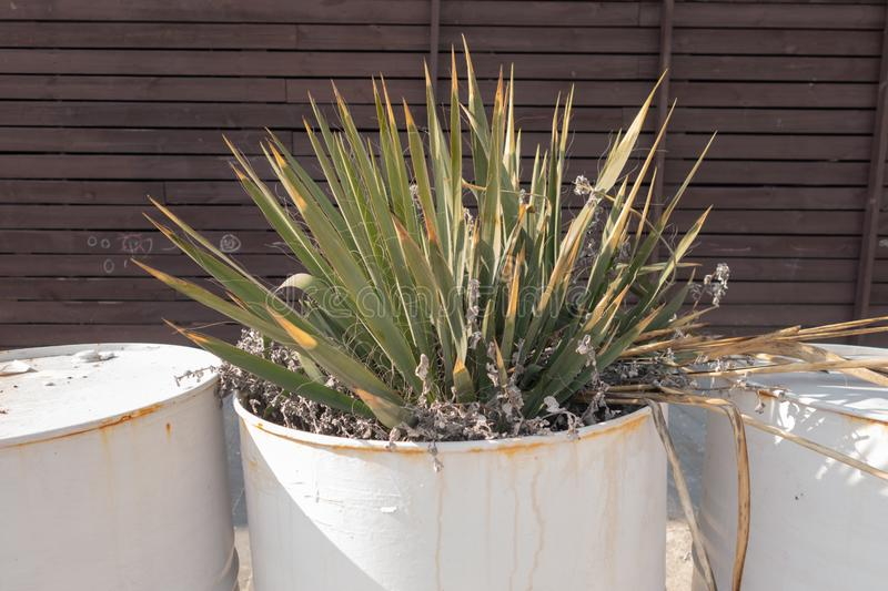 Cactus grown in a creative flower garden - a white barrel from under the engine oil royalty free stock image