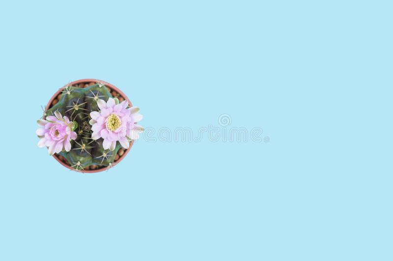 Cactus gymnocalycium bloom topview isolated clippingpath on blue. Background copyspace royalty free stock photo