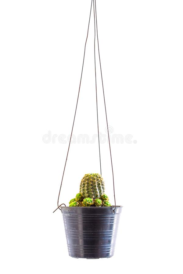 Cactus hanging in a small black pot on white background royalty free stock image