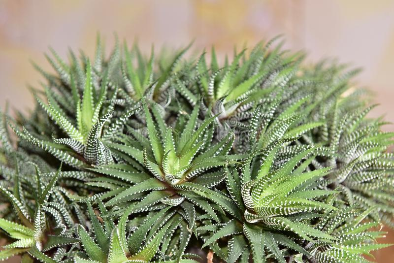 Cactus Haworthia. With variegated leaves in a flower pot stock photography