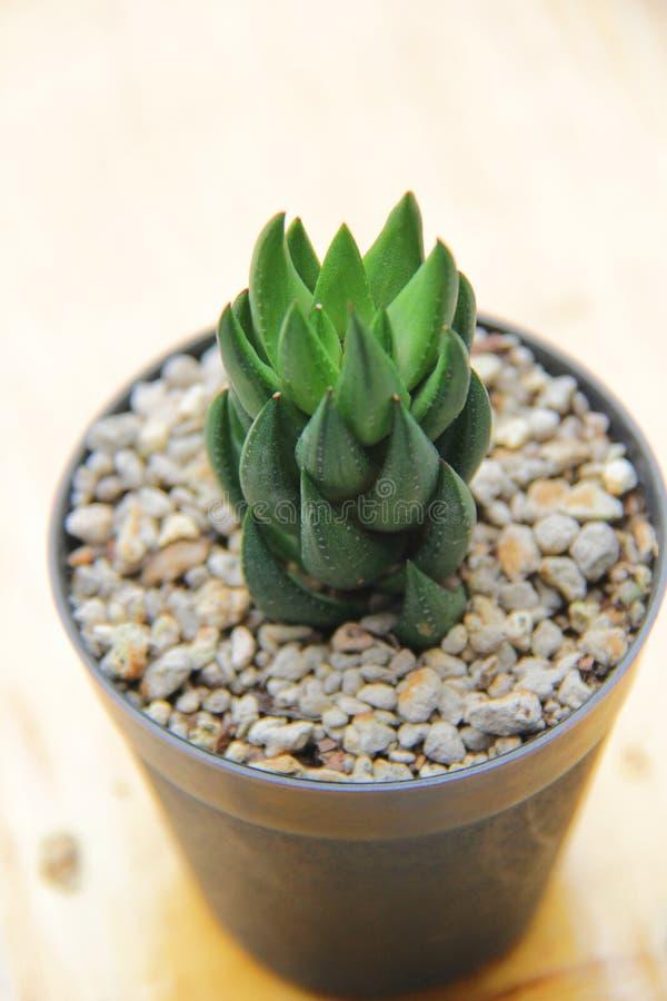 Cactus hermoso verde en el pote en la tabla fotografía de archivo