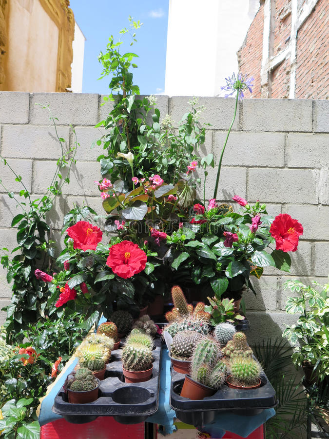 Cactus and hibiscus. Display of cactus and hibiscus for sale outside florest shop royalty free stock photos
