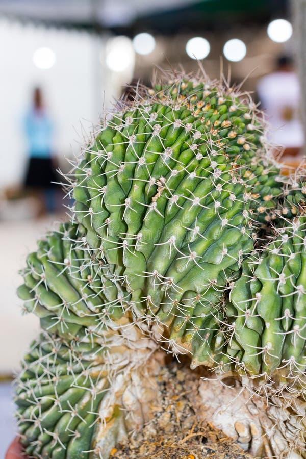 Cactus stock photography