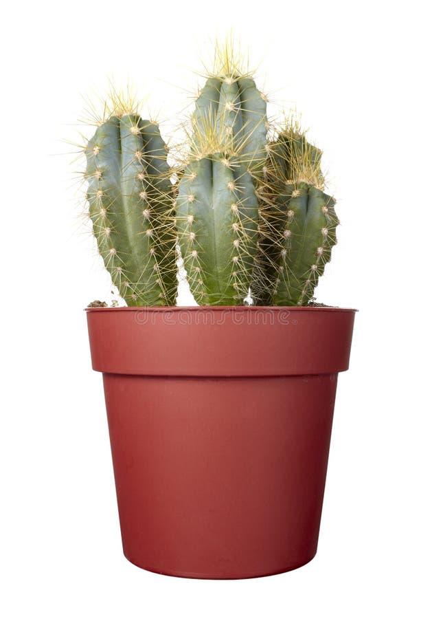 Free Cactus House Plant Vegetation Nature Flora Royalty Free Stock Images - 12685479