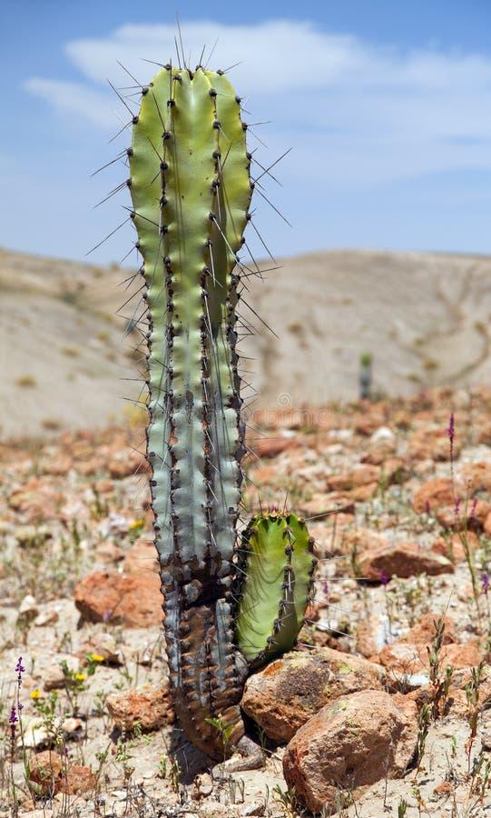 Free Cactus In Desert Landscape Near Cerro Blanco, Nazca Stock Image - 162429441