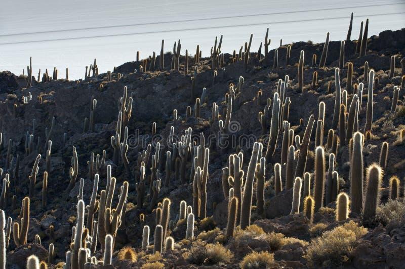 Cactus, Incahuasi island. Salar de Uyuni, Potosi, Bolivia, South America royalty free stock photos
