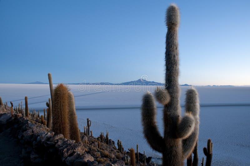 Cactus, Incahuasi Island. Salar de Uyuni, Potosi, Bolivia, South America stock photos